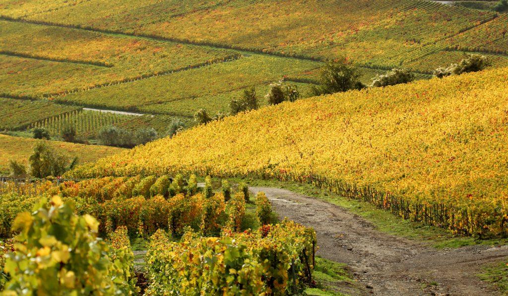La longue marche de la Champagne vers la viticulture durable