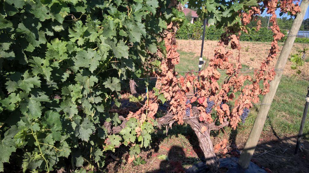 Innover pour sauver le vignoble français