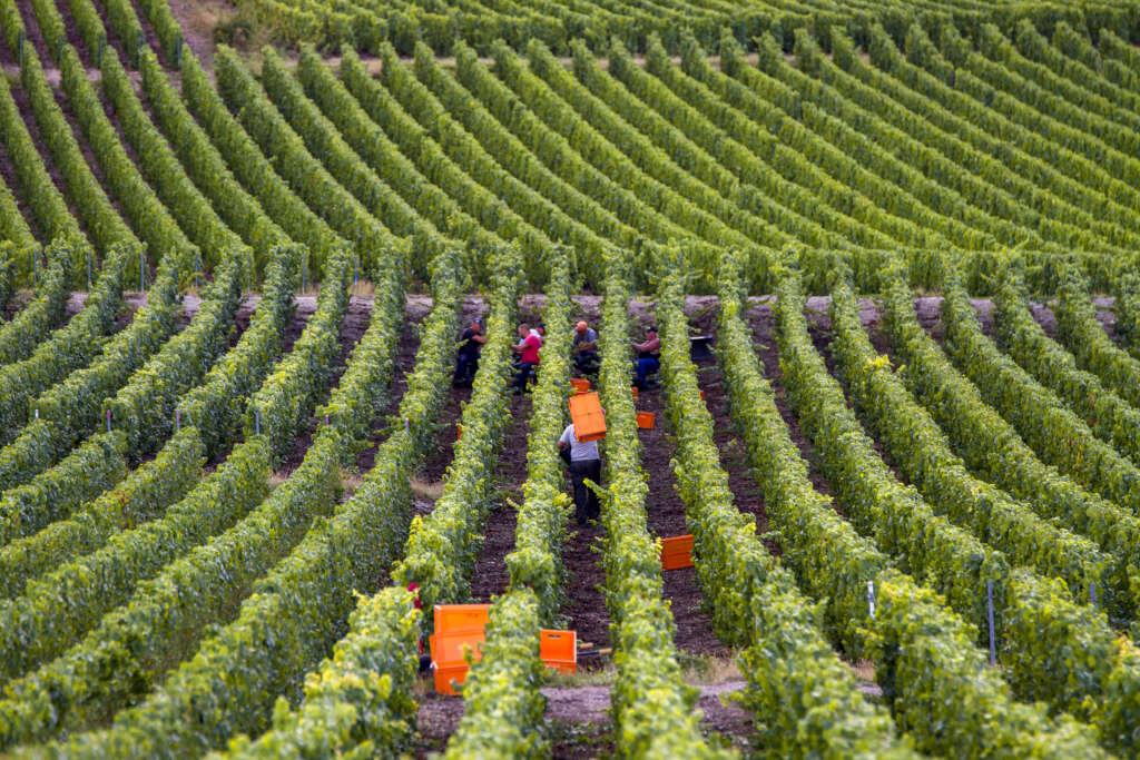 Les nouveaux cahiers des charges des AOC Champagne, Coteaux Champenois et Rosé des Riceys sont publiés