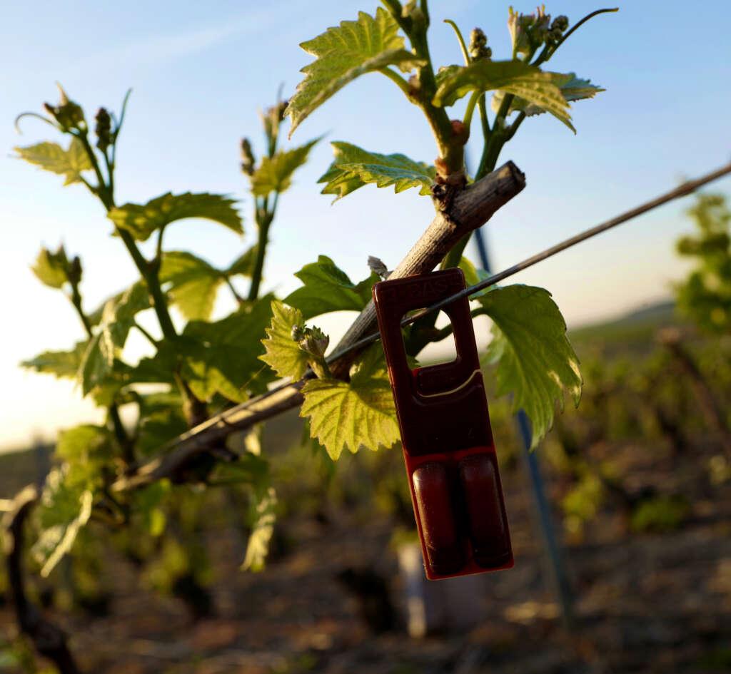 La réussite d'un vignoble engagé