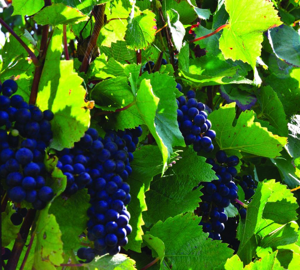 Prix du raisin pour le paiement des loyers viticoles