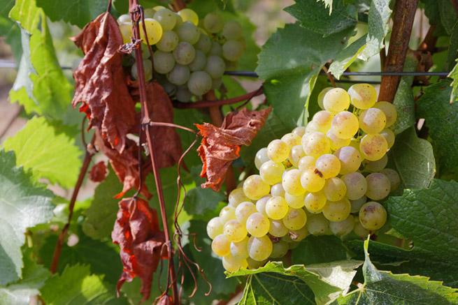 Les défis d'un vignoble qui se réchauffe